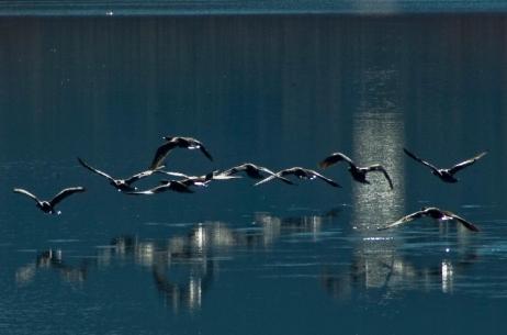 Cormoranes volando